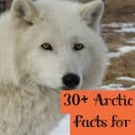 30+ Incredible Facts about the Arctic Wolf Kids Must Know
