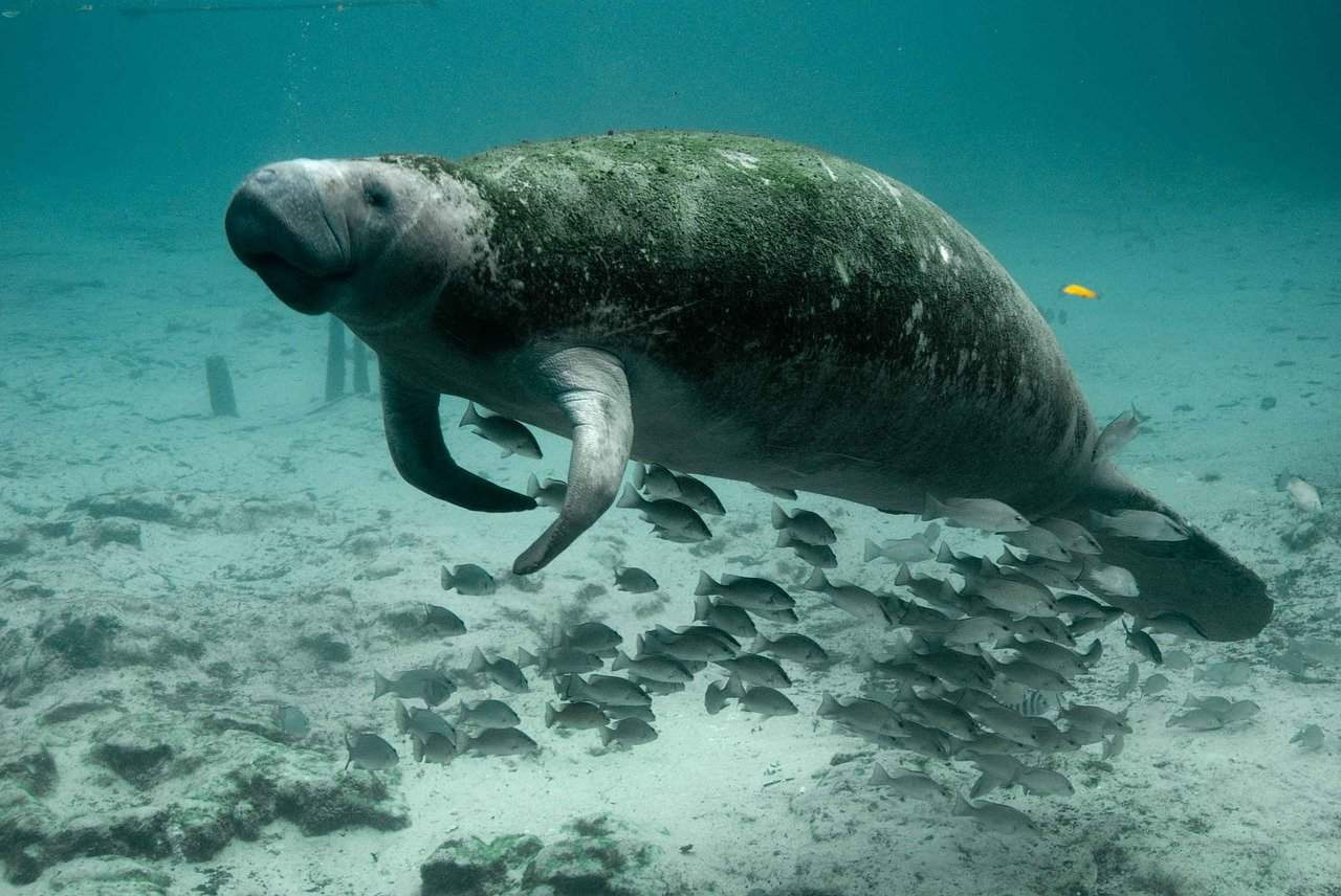 Manatee Facts for Kids