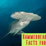 25 Amazing Hammerhead Shark Facts for Kids